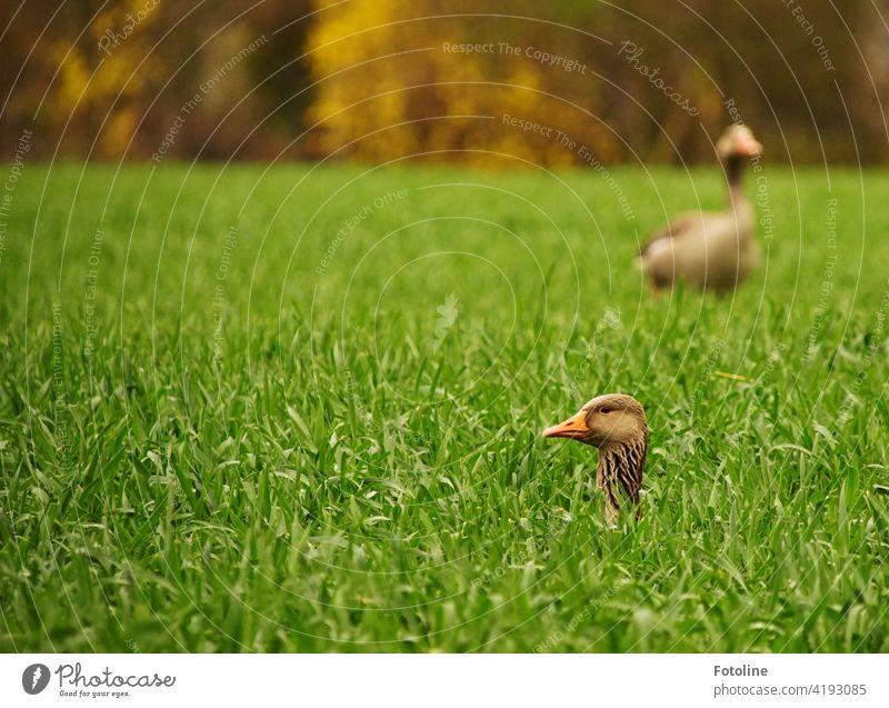 Zwei Gänse spielen Verstecken. Eine sucht, die andere guckt, ob jemand guckt. Gans Natur Vogel Tier Außenaufnahme Wildtier Umwelt Farbfoto Menschenleer