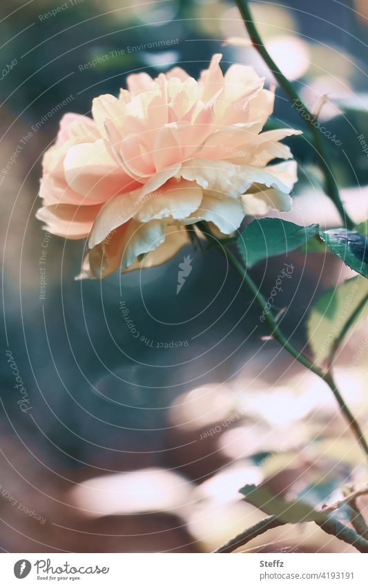 eine Rose im Sommerlicht frische Rose blühende Rose Blume Sommergarten Sommerblume romantisch romantische Blume blühende Blume Sommerblüte Blüte erblühen