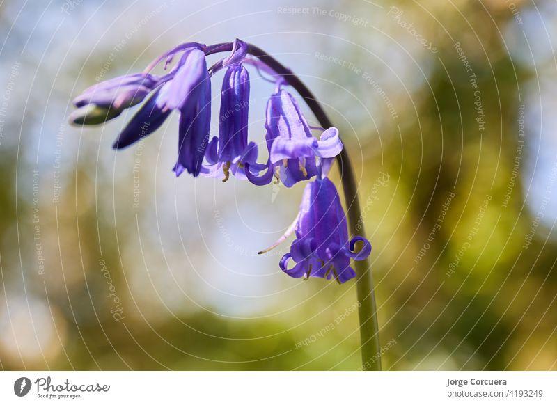 horizontale Nahaufnahme von Hyacinthoides, bluebells. Gras Unschärfe Hintergrund von Irland Glockenblume Blütezeit Frühling Flora wild Natur purpur mehrjährig