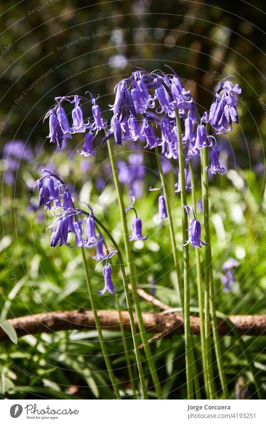 Hochformat von Bluebells, Hyacinthoides, Wildblumen im Frühling Glockenblume Blütezeit Flora wild Natur purpur mehrjährig blau Blume schön Pflanze Glockenblumen