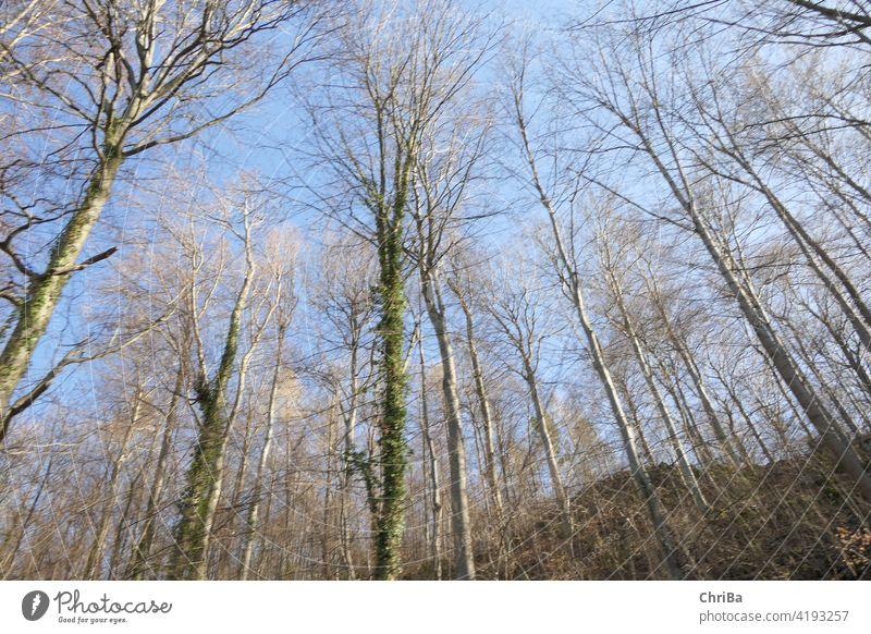 Frühlingswald mit zartem Grün und blauem Himmel von unten nach oben gesehen natural below forest green light nature woods foliage environment lush leaf plant
