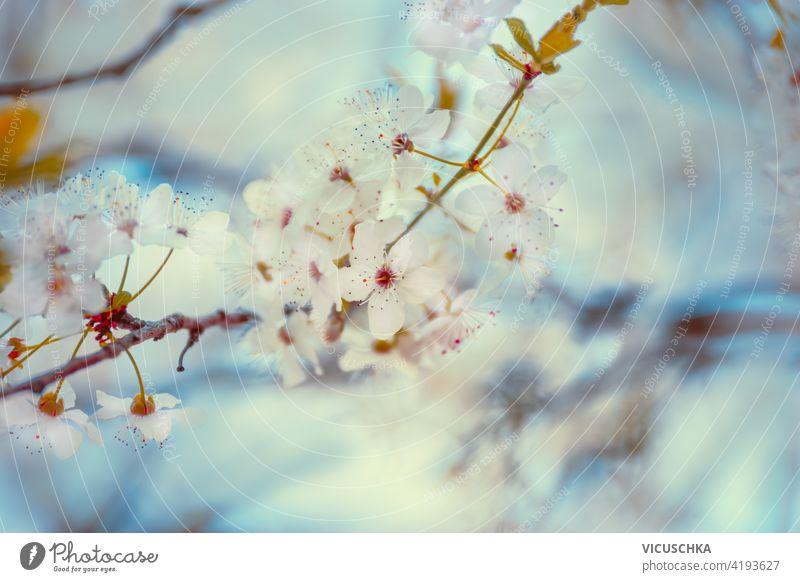 Nahaufnahme der Kirschblüte bei blau. Outdoor-Frühling Natur Hintergrund abschließen Kirsche Blüte im Freien schön Überstrahlung Ast Blume natürlich rosa Saison