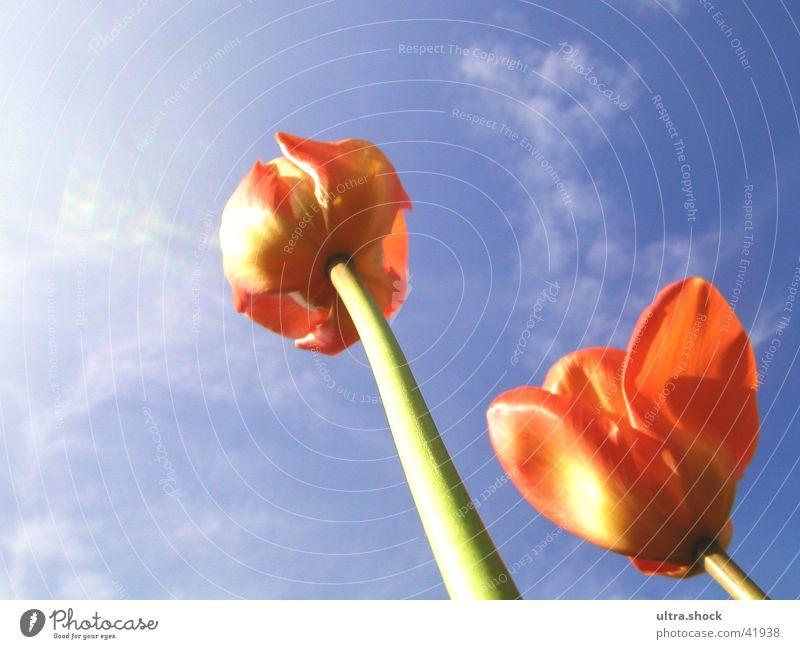 Tulpen Himmel Tulpe