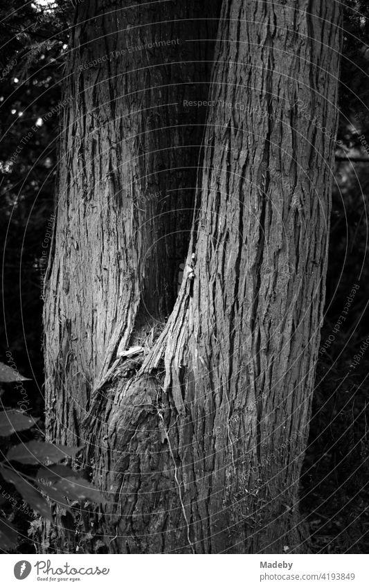Gabelung eines alten Baum mit schöner Rinde im Weberpark in Oerlinghausen bei Bielefeld am Hermannsweg im Teutoburger Wald in Ostwestfalen-Lippe, fotografiert in neorealistischem Schwarzweiß