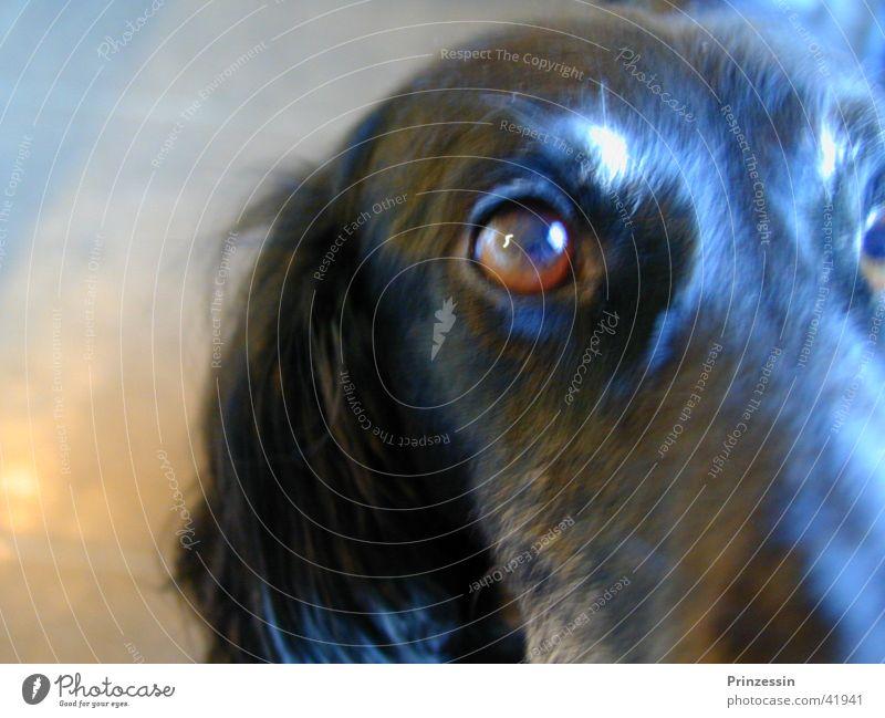 Hund Tier Kopf Windhund