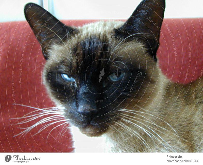 Katze Tier