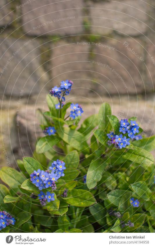 Blick von oben auf Vergissmeinnicht / Myosotis  und Pflastersteine blau grün Frühling schön romantisch Frühjahrsblüher Blumen Natur Pflanze Nahaufnahme