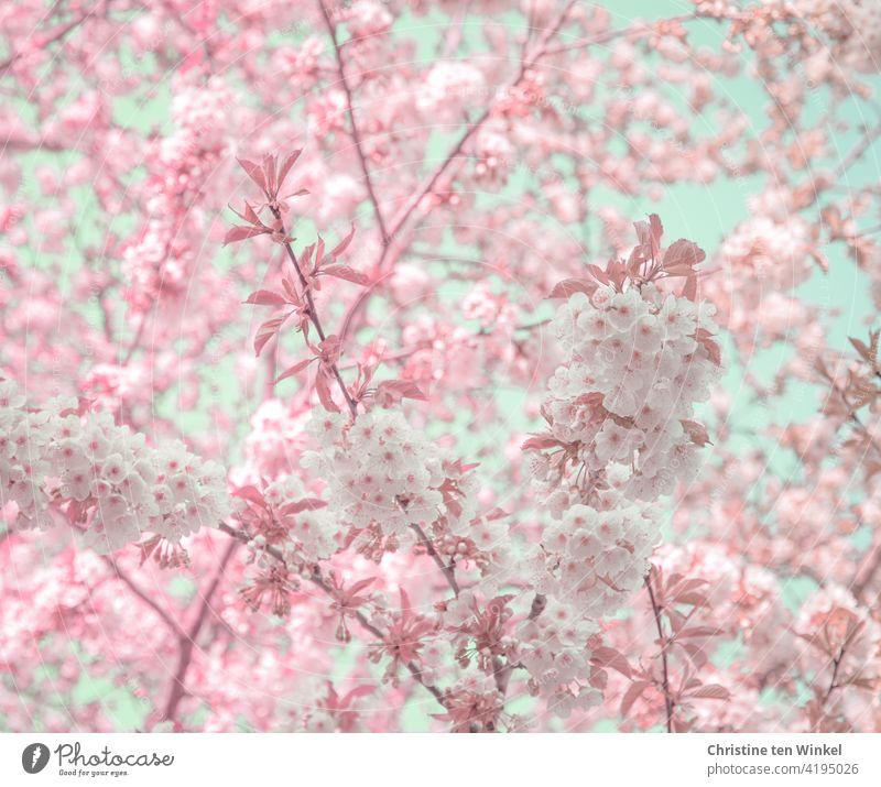 Blütentraum in weiß und rosa mit etwas zartblauem Himmel, der durch die Blüten zu sehen ist Blütenfülle Frühling Blühend Baum Natur Garten Park Frühlingsgefühle