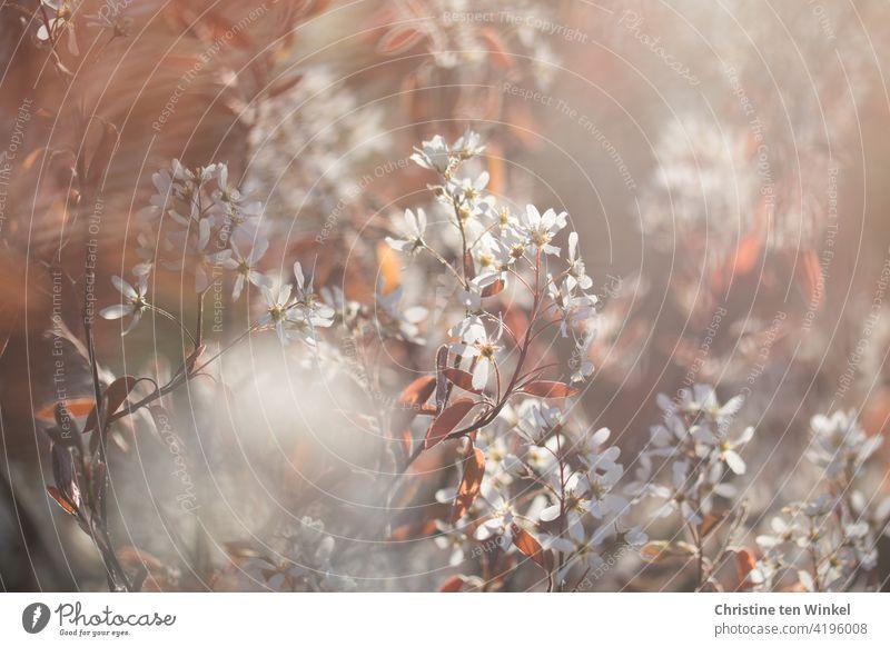 Weiße zarte Blüten der Felsenbirne / Amelanchier  im Gegenlicht der tiefstehenden Sonne Kernobstgewächs Rosengewächs blühend Blütenfülle Sonnenlicht romantisch