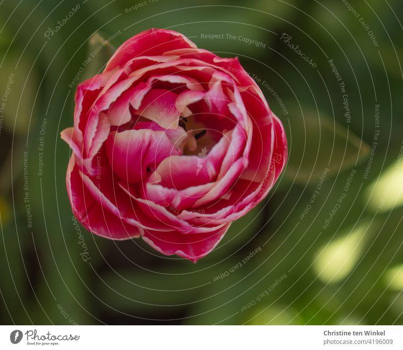 Leicht geöffnete gefüllte pink und weiße Tulpenblüte. Grüner Hintergrund mit Sonnenlichtreflexen. Blick von oben. Blume Frühling Blüte Frühlingsgefühle Natur