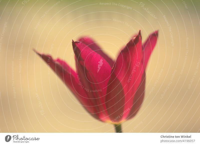 Nahaufnahme einer rot - violetten Tulpenblüte, leicht durchscheinend im Sonnenlicht. Heller ruhiger Hintergrund Blume Frühling Blüte Pflanze Blühend Natur