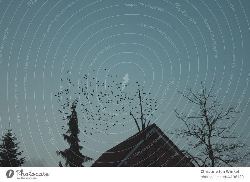 Ein Schwarm Stare auf der letzten Runde in der Dämmerung, bevor sie ihre Schlafplätze im Garten hinter dem Haus und den Bäumen aufsuchen Vögel Vogelschwarm