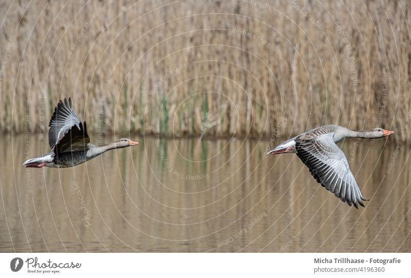 Fliegende Wildgänse am See Graugänse Anser anser Gänse Kopf Schnabel Auge Hals Federn Gefieder Flügel Beine Flügelschlag Spannweite fliegen Flug Sonnenschein