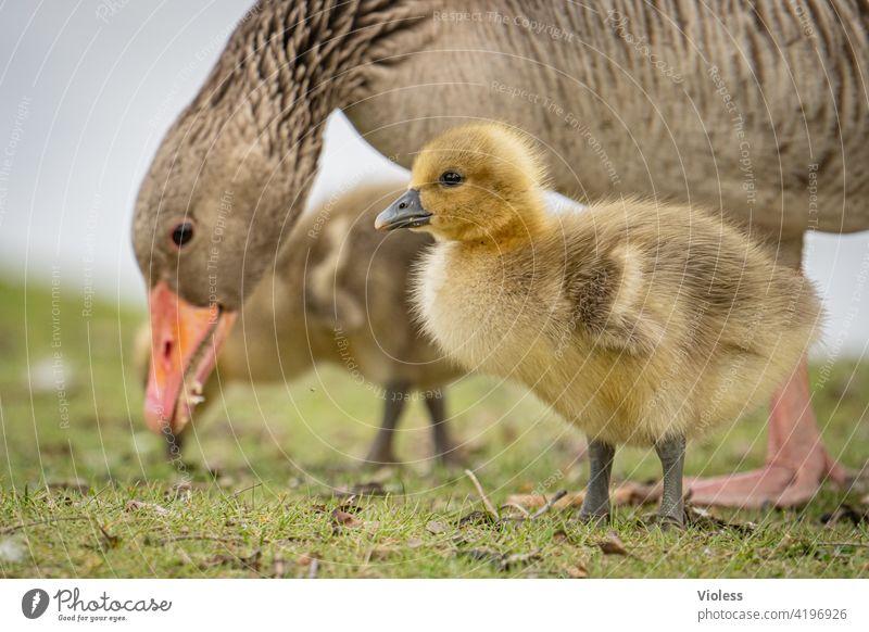Gänseküken unter Beobachtung Graugans Küken wiese Vögel Entenvögel Gans Schnabel niedlich