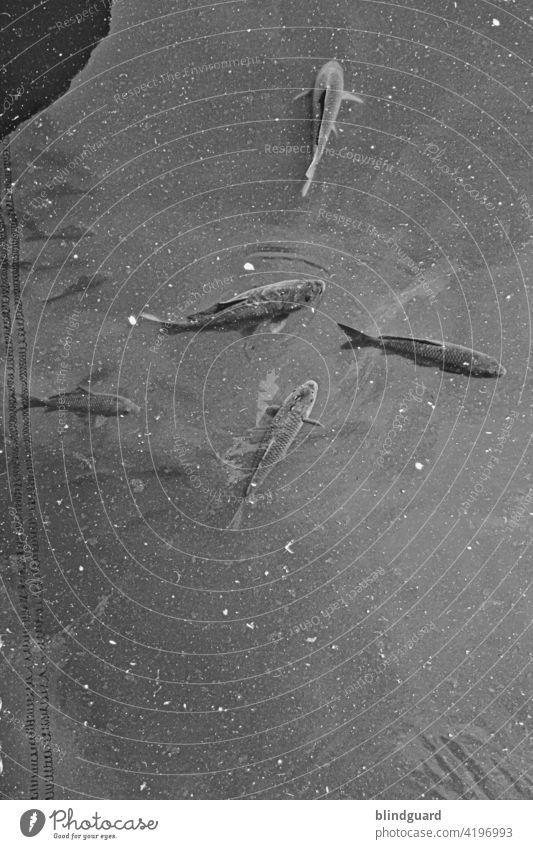 Forelle grau Fisch Fische Wasser Tier Schwarm Fischschwarm Menschenleer Tiergruppe Schwimmen & Baden Aquarium Natur durcheinander Zusammensein nass Schmutz
