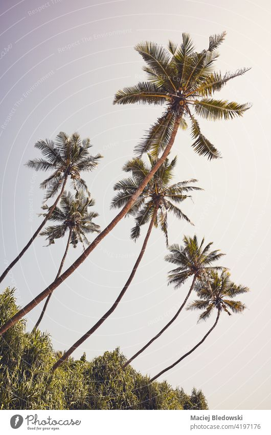 Retro getöntes Bild von Kokosnusspalmen gegen den Himmel an einem sonnigen Sommertag. Handfläche Baum Urlaub Natur retro tropisch altehrwürdig reisen Insel