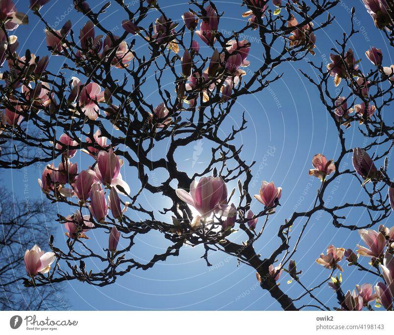 Zweige und Blüten Magnolienblüte Blühend Zierpflanze Ziergehölze Idylle weiß rosa reich positiv natürlich schön hoch elegant Wachstum leuchten Duft