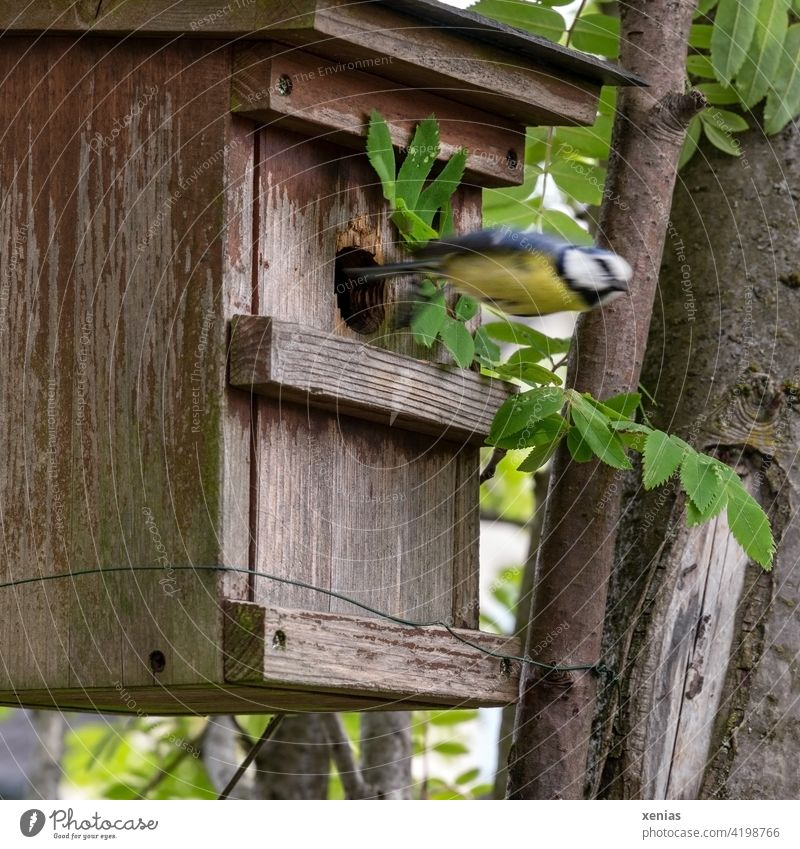Meise im Sturzflug - Blaumeise verlässt pfeilschnell das Vogelhaus Vögel fliegen Garten Tier Wildtier Bewegungsunschärfe unscharf