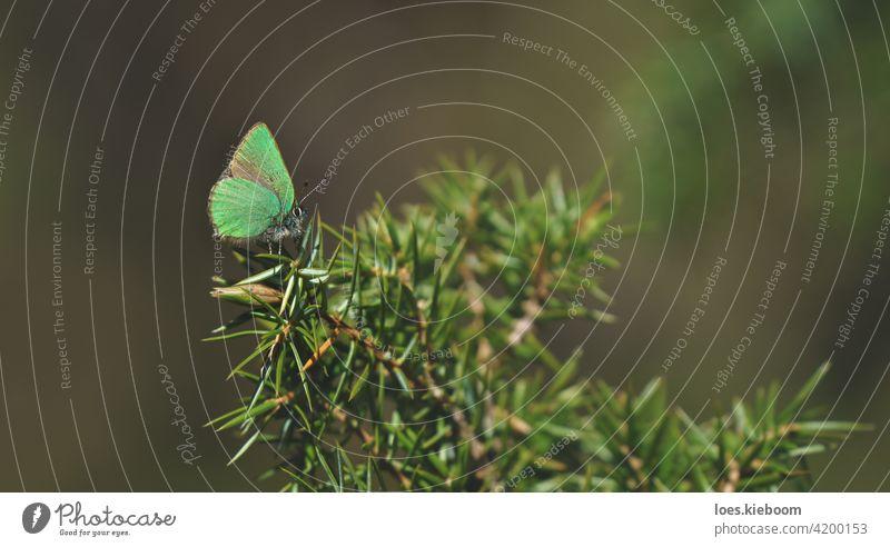 Friedliche Frühlingsszene mit grünem Haarschmetterling in einem immergrünen Wald auf einem Wacholderstrauch, Tirol, Österreich Schmetterling Grüner Haarbüschel