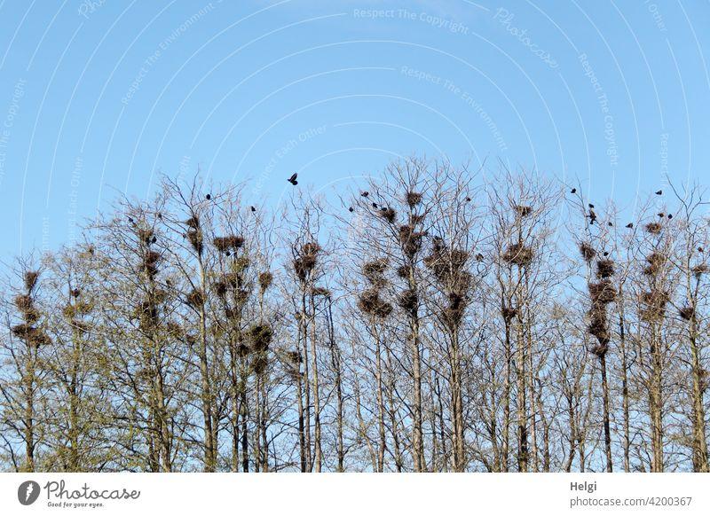 Krähenkolonie - viele Krähen nisten in hohen kahlen Bäumen vor blauem Himmel Vogel Krähennest Baum hoch Brutkolonie Frühling schwarz Tier fliegen Rabenvögel