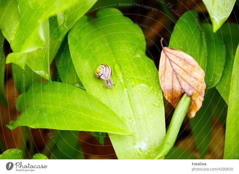 """Im Wald zwischen Bärlauchblättern - eine kleine Minischnecke entdeckt und """"süüüüß"""" gequietscht. Waldboden Wildgemüse Blätter Blatt grün Blattgrün natürlich"""