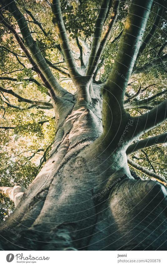 Alt wie ein Baum... | ein uralter riesiger knorriger Baum mit Blätterdach aus der Froschperspektive Baumstamm altehrwürdig Kraft kräftig Natur Holz Wald