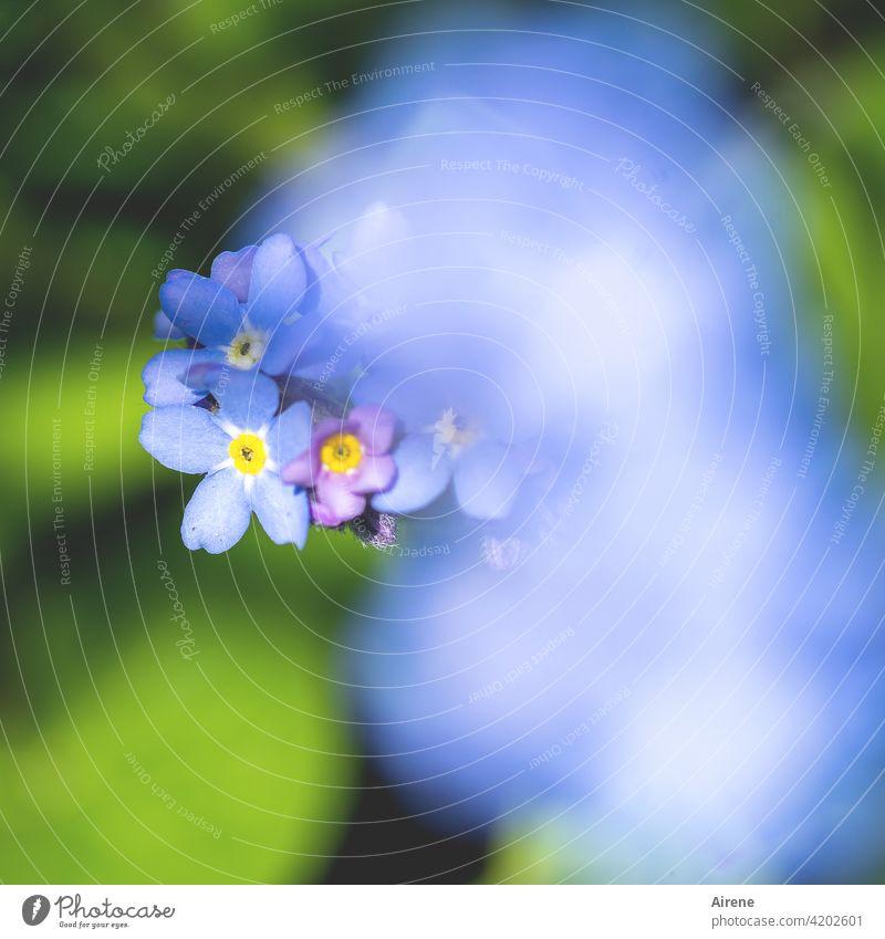 Blümelein fürs Mütterlein Vergissmeinnicht Blume blau Mai Frühling Muttertag Blumenstrauß Garten Blumenbeet gelb grün frisch blühen blühend Wiese Wildblume