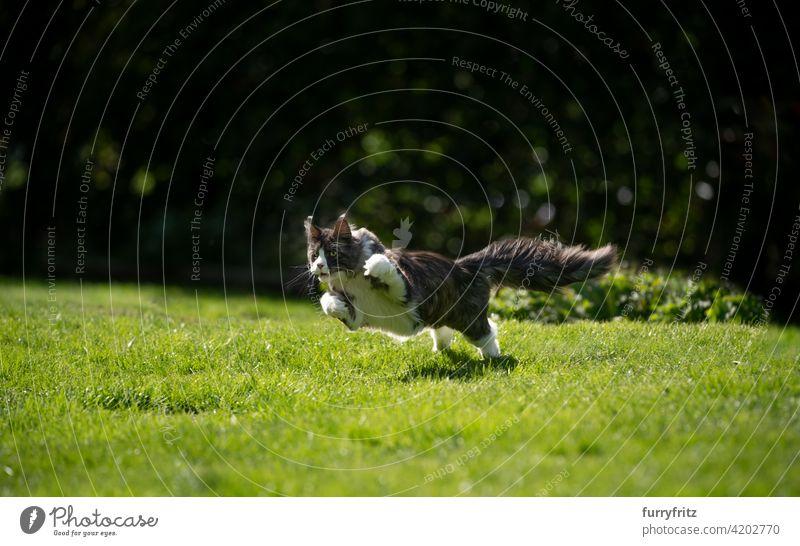 Maine Waschbär Katze läuft auf Gras im Freien Jagd Rassekatze Haustiere maine coon katze Langhaarige Katze katzenhaft fluffig Fell schön Natur Garten