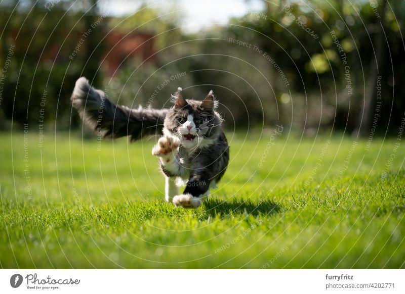 tuxedo maine coon Katze Jagd läuft auf Kamera Rassekatze Haustiere maine coon katze Langhaarige Katze im Freien katzenhaft fluffig Fell schön Natur Garten