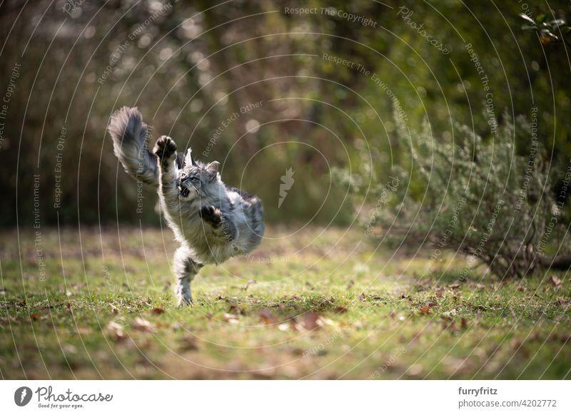 verspielte Maine Coon Katze läuft im Freien auf Gras Rassekatze Haustiere maine coon katze Langhaarige Katze katzenhaft fluffig Fell schön Natur Garten