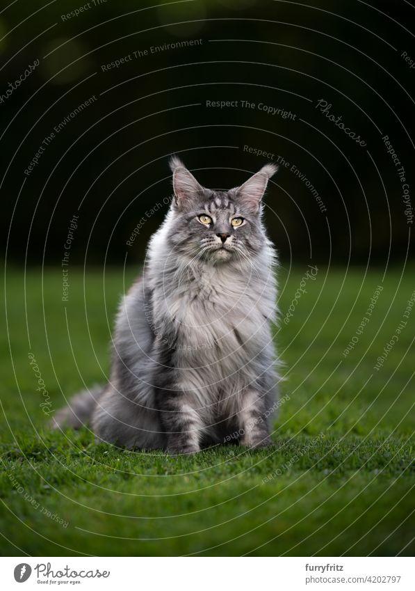 Porträt einer schönen silber gestromten Maine Coon Katze auf grünem Gras Rassekatze Haustiere maine coon katze Langhaarige Katze im Freien katzenhaft fluffig