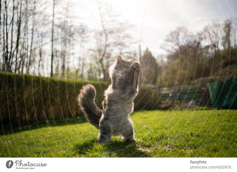 Maine Coon Katze spielen im Freien in sonnigen Hinterhof Rassekatze Haustiere maine coon katze Langhaarige Katze katzenhaft fluffig Fell schön Natur Garten