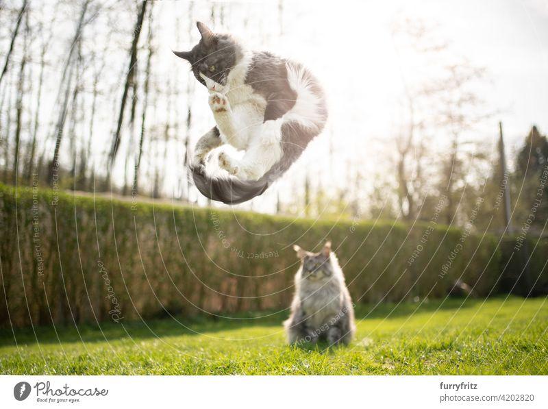 verspielte Katze springt eine andere Katze beobachten lustig Rassekatze Haustiere maine coon katze Langhaarige Katze im Freien katzenhaft fluffig Fell schön