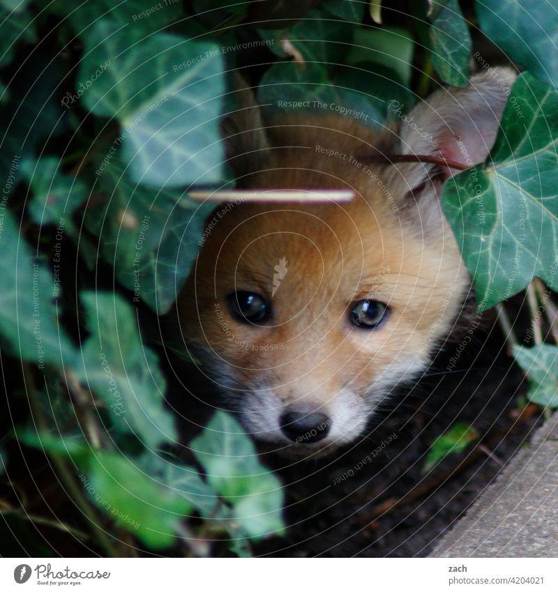 Hauptstadtfux Fuchs Tier Jungtier Natur Wildtier Tierporträt Tierjunges klein niedlich braun Fell Welpe Welpen Säugetier