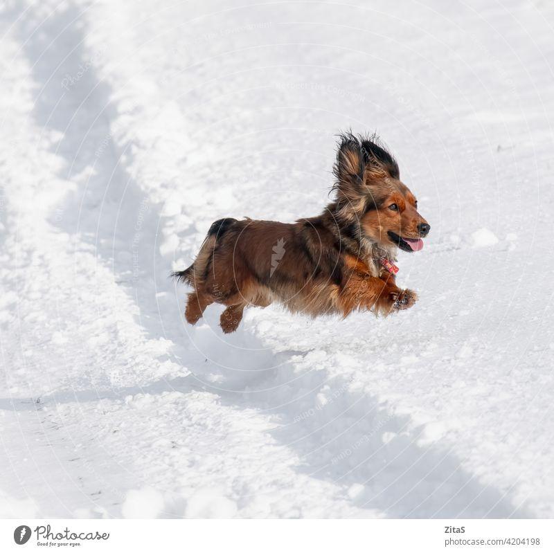 Langhaariger Dackel Hund springt in den Schnee niedlich züchten langhaarig langhaariger Dackel Wursthund Hündchen Welpe aniimal Haustier braun Winter springend