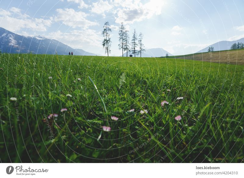 Pärchen beim Wandern durch alpine Berglandschaft mit fünf großen Lärchen in grüner Frühlingswiese, Mieminger Plateau, Tirol, Österreich Gras Baum Wiese