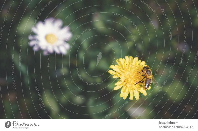 Luftaufnahme einer mit Pollen bedeckten Biene, die auf einem Löwenzahn sammelt, mit unscharfer Wiese und Gänseblümchen, Österreich Blume Blüte Antenne geblümt