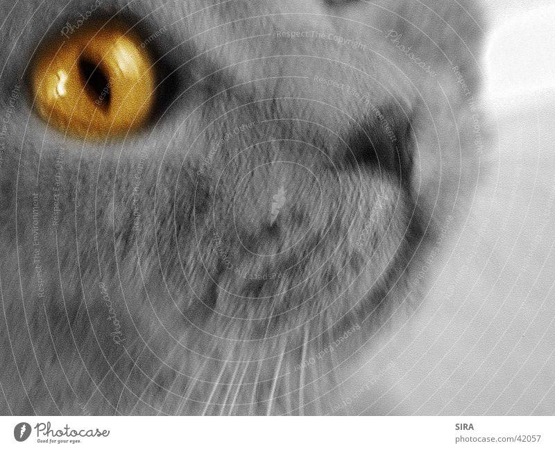 Yellow eye Auge Katze
