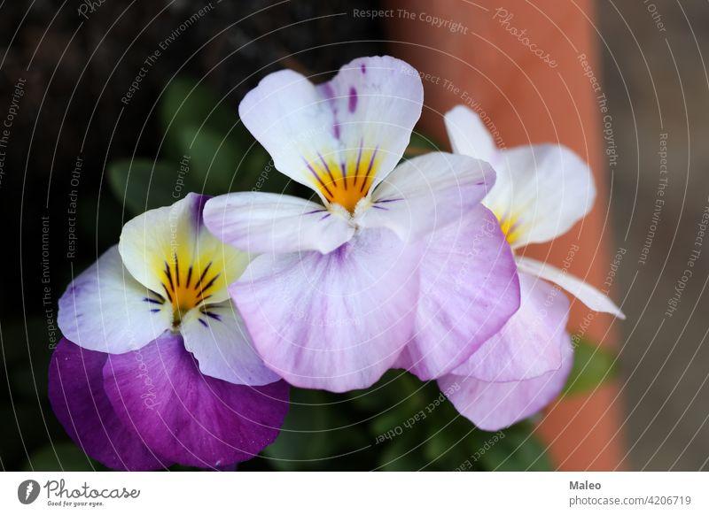 Hübsche Stiefmütterchen auf einem Beet in einem Stadtpark Hintergrund schön Schönheit Blüte Farbe farbenfroh geblümt Blume Garten grün Natur Pflanze hübsch