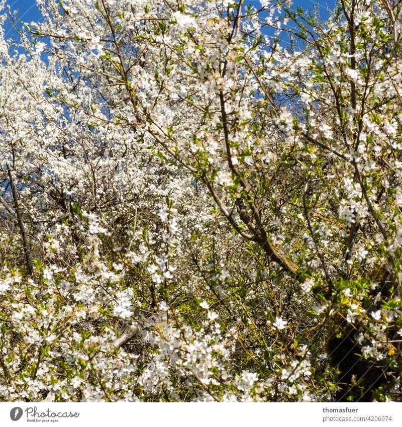 Frühlingsblüten Blumen Blüte Blütenmeer Überfluß Frühlingserwachen Pflanze Außenaufnahme blühen Natur Romantik Frühlingsgefühle Himmel blau Baum
