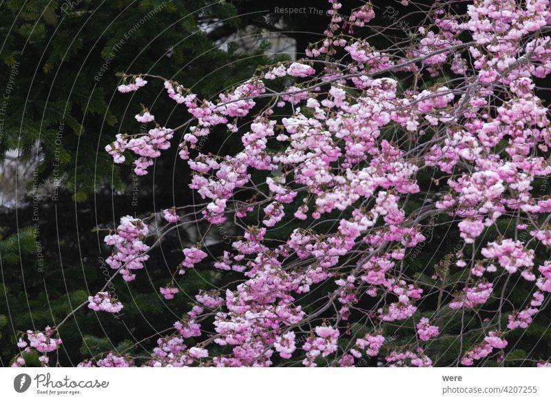 Zweige einer blühenden Zierkirsche mit rosa Blüten blüht Überstrahlung Niederlassungen Kirschblüten Textfreiraum f Absenken Garten Gartenarbeit Natur niemand