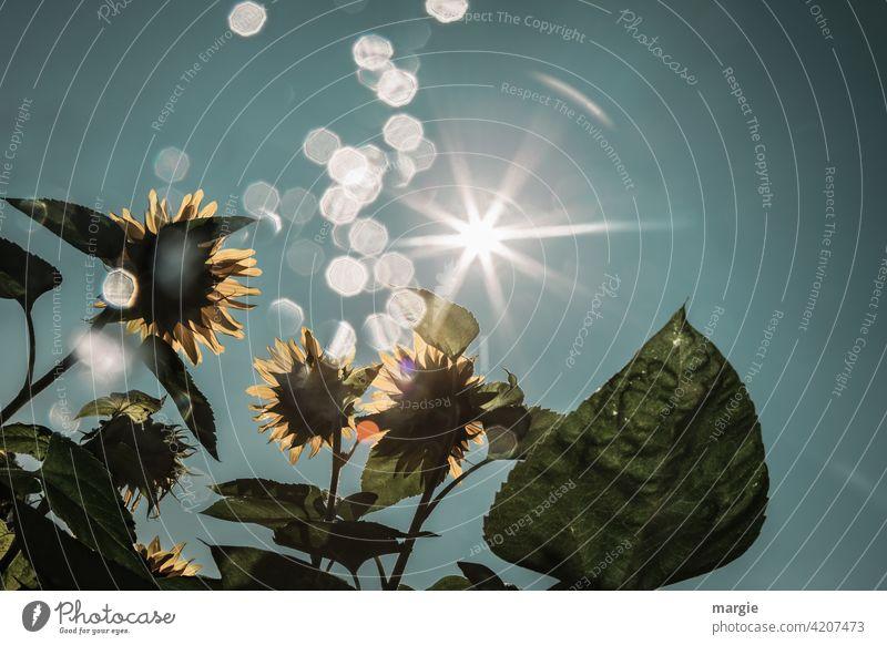 Sonnenblumen werden von der Sonne angestrahlt Sonnenlicht Außenaufnahme Blume Sommer grün Blüte gelb Sonnenstrahlen Lichterscheinung Reflexion & Spiegelung Tag