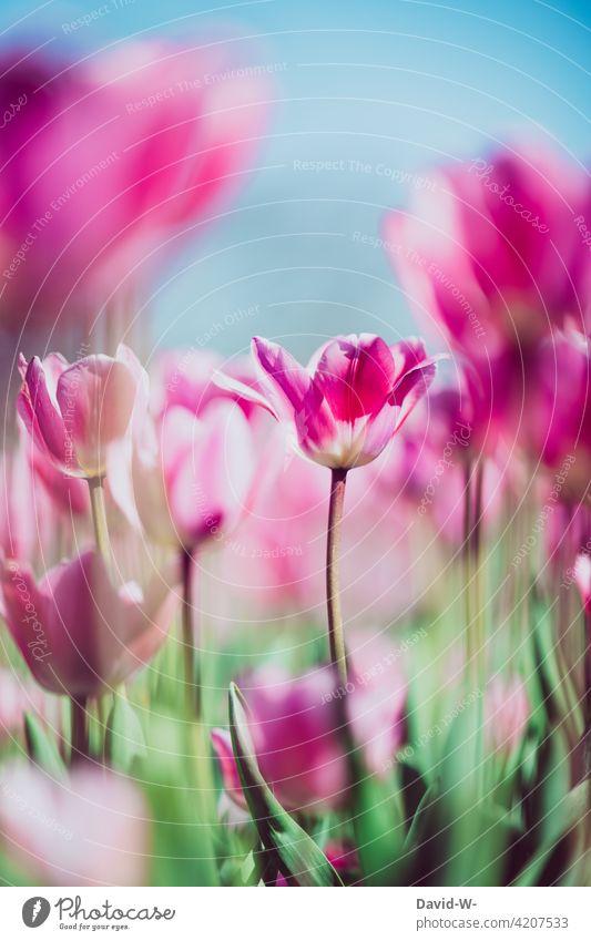 farbenfrohe Tulpen in einem Tulpenfeld pink rosa Frühling blühen schön sonnenschein Blume