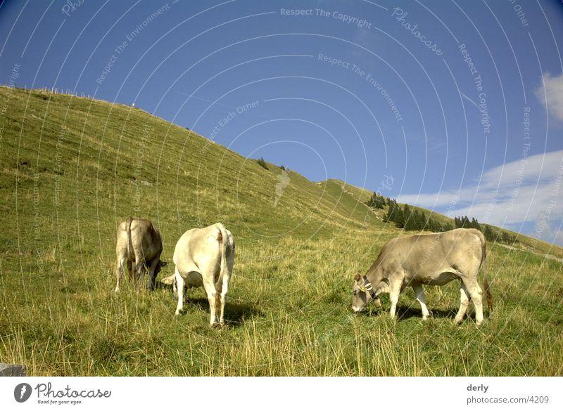 Weidende Kühe Kuh Wiese Verkehr Alpen Berge u. Gebirge