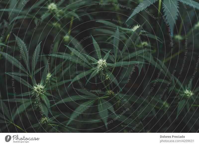 Amnesie-Dunst Indoor-Plantage im Blühstadium Unkraut Hintergrund grün Natur Cannabis Medizin Marihuana Hanf natürlich Medikament Pflanze Blatt Gras medizinisch