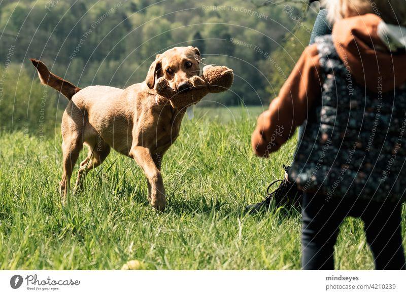 Familienhund spielt mit Teddybär Frühling Haustier Hund Labrador spielen draussen Natur Glück Kindheit Fröhlichkeit Außenaufnahme Welpe Farbfoto