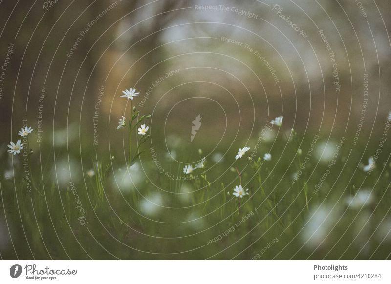 Zarte Blümchen auf einer Wiese. Blumen zart grün weiß Bokeh Blüte Natur Garten blühend Frühling Sommer Pflanze Farbfoto gelb natürlich Menschenleer Gras