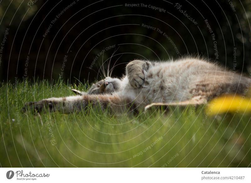 Eine Katze schläft entspannt im Gras, es ist Frühling, der Löwenzahn blüht Natur Flora Fauna Tier Haustier schlafen enstpannt Ruhe geniessen Pflanze Blüte