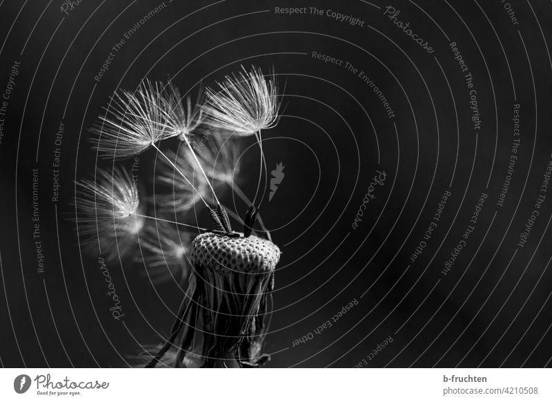 Fast vom Winde verweht - Pusteblume Blume Löwenzahn Pflanze Nahaufnahme Makroaufnahme Detailaufnahme Außenaufnahme Frühling Natur Samen Schwarzweißfoto
