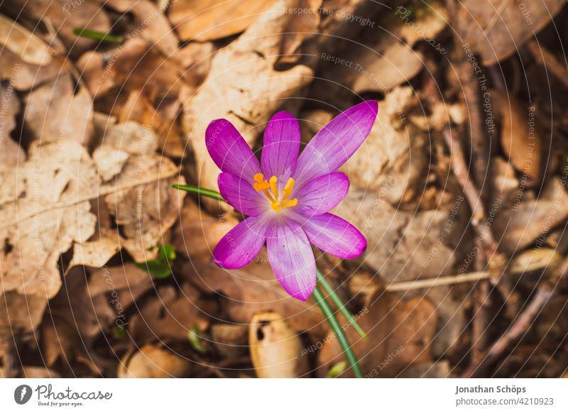 Frühblüher Krokus Makroaufnahme auf dem Waldboden Schwache Tiefenschärfe Licht Tag Menschenleer Detailaufnahme Nahaufnahme Außenaufnahme mehrfarbig Farbfoto